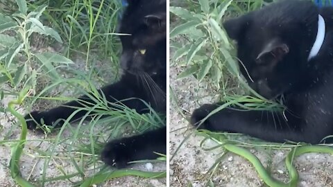 Ranch cat shows cocky snake who's the boss