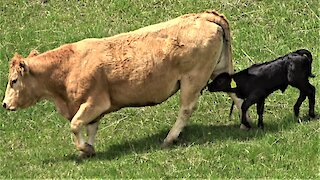 Newborn calf follows mother cow, adorably trying to drink milk
