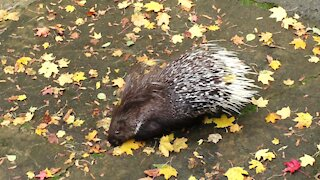 Porcupine looking for a treat