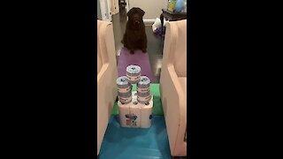 Huge Newfie attempts the toilet paper challenge