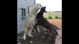 Alpaca and donkey best friends love to play together