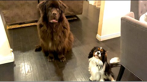 Newfie and Cavalier play game of hide-and-seek together