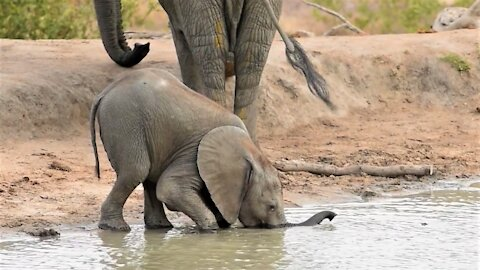 Baby elephant struggles to drink water with trunk before using his mouth