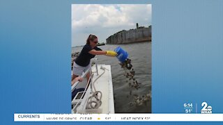 Putting baby oysters in Baltimore