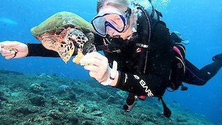 Scuba diver hand feeds friendly Hawksbill turtle in Papua New Guinea