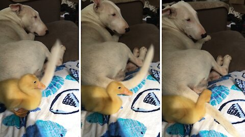 Dog's wagging tail repeatedly hits duckling in the face