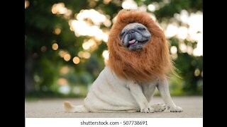 Funny dog As Like Lion..Funny Video
