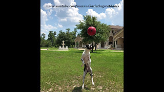 Funny Great Dane Puppy Jumps for Jolly Ball in Slow Motion