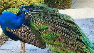 Wild suburban peacock gives rare display to driver