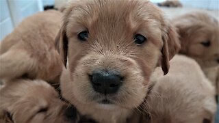 Golden Retriever puppies adorably try to settle for nap time
