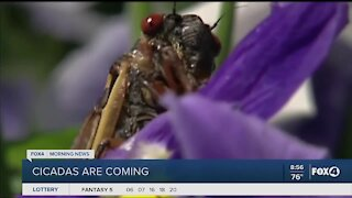 Cicadas are coming in large numbers