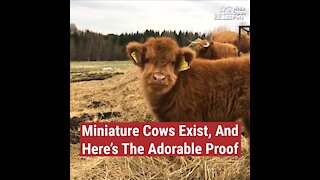 Mini Cows Exist, And Here's The Adorable Proof