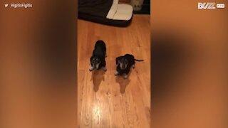 Un chien malentendant hésitant à manger