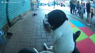 Hund på hjul: en bjeffende gal gateopptreden
