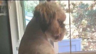 Hund sidder ved vinduet som et menneske!