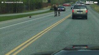 Polizia scorta l'alce e il suo cucciolo