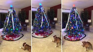 Not so all aboard! Boxer dog scared of toy train under Christmas tree
