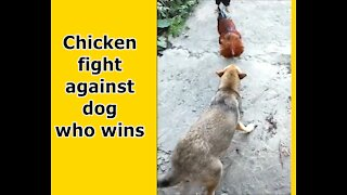 Chicken fight against dog who wins