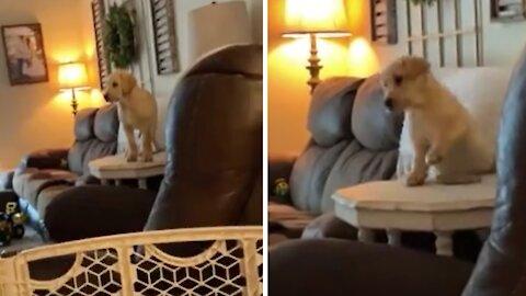 Labrador puppy falls down in adorably funny fashion