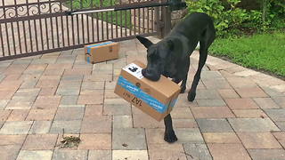 Talented Great Dane Opens Amazon Delivery Box