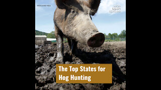 The Top States for Hog Hunting