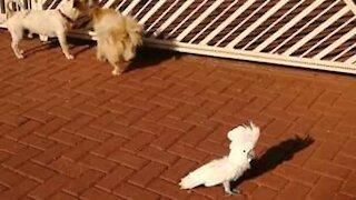 Ce cacatoès aboie tel un chien de garde!
