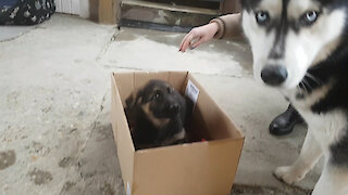 Husky totally confused by German Shepherd puppy addition