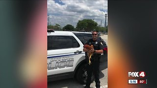 Chicken found crossing the road by Cape Coral officer