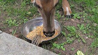 Deer and chipmunk incredibly share meal together