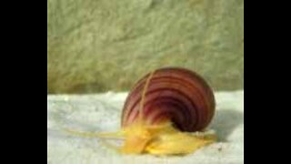 Mystery and Apple Snails