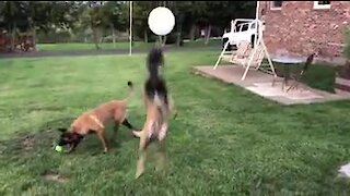 Cute pup plays with balloon