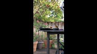 #Back Yard Birds Hawai'i Northern Cardinal
