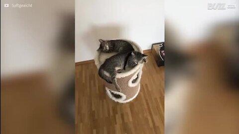 Gatinha dorminhoca rebola para fora da sua cama