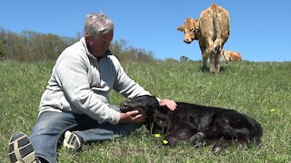 Trusting mother cow drops off newborn calf with the babysitter