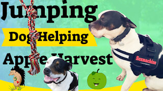 Jumping Dog Helping Apple Harvest