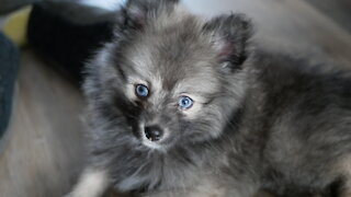 Love at first sight! Pomsky puppy meets Cat brother for the first time!