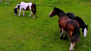 Drone captures affectionate moment between two magnificent Clydesdales