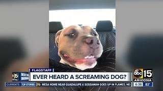 Dog from Flagstaff becoming internet sensation