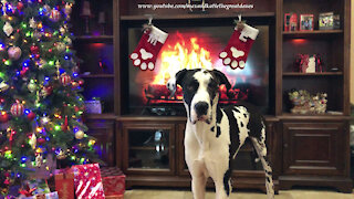 Great Dane cuddles up with his toy & Christmas stockings