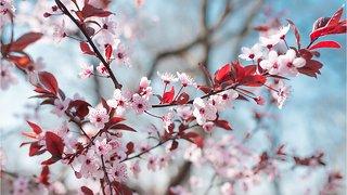 What You Didn't Know About Cherry Blossoms