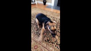 Doggy has crazy case of the morning zoomies