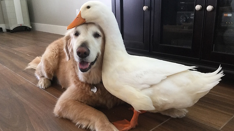 Dog And Duck Become Inseparable Best Friends