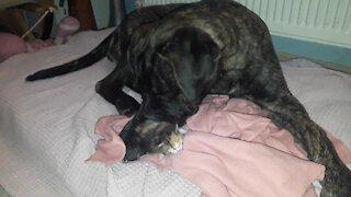 Bullmastiff puppy helps raise abandoned newborn kitten