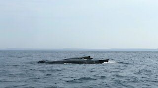 Humpback whales don't seem to mind research boat at all