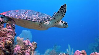 Gigantic hawksbill sea turtle gracefully glides over the coral reef