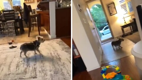 Dog doesn't see glass door, runs full speed right into it