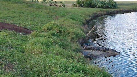 Sandridge Gator