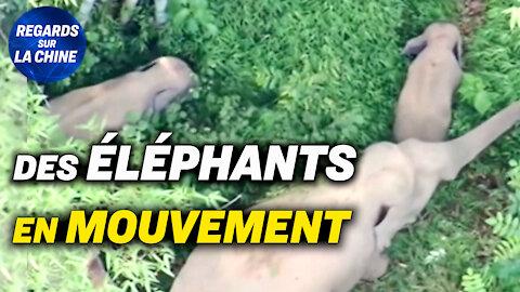 Un autre troupeau d'éléphants repéré en Chine ; Oxford: aucune chauve-souris vendue à Wuhan en 2019