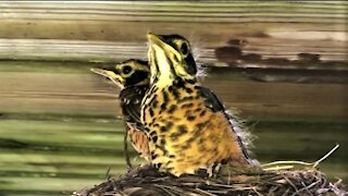 Baby robins are getting ready to leave the nest
