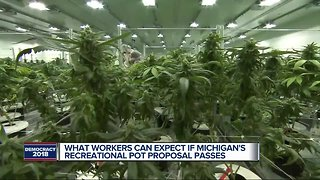 What workers can expect if Michigan's recreational pot proposal passes